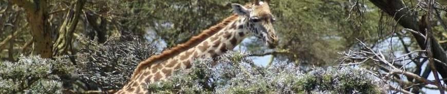 Tour por Kenia: Una aventura entre jirafas
